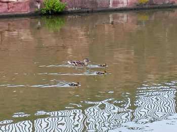 The mother duck and her babies leave wakes behind them