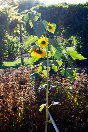 Last of The Sunflowers