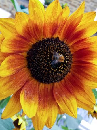 A busy little bee on a sunflower
