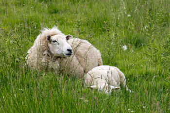 A mother abd her offspring rest in the grass