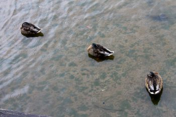 Three little duckies in the rain
