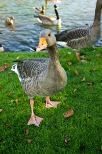A goose eyes up the possibility of more bread