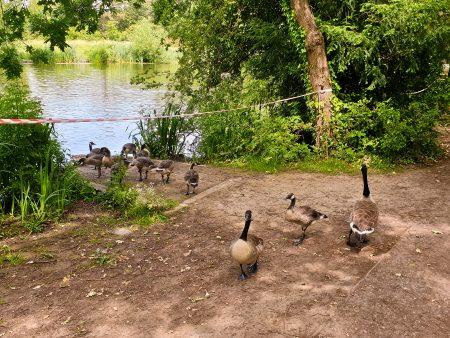 Growing Goslings
